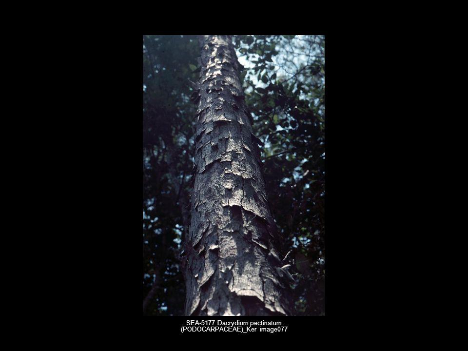 SEA-5177 Dacrydium pectinatum (PODOCARPACEAE)_Ker image077