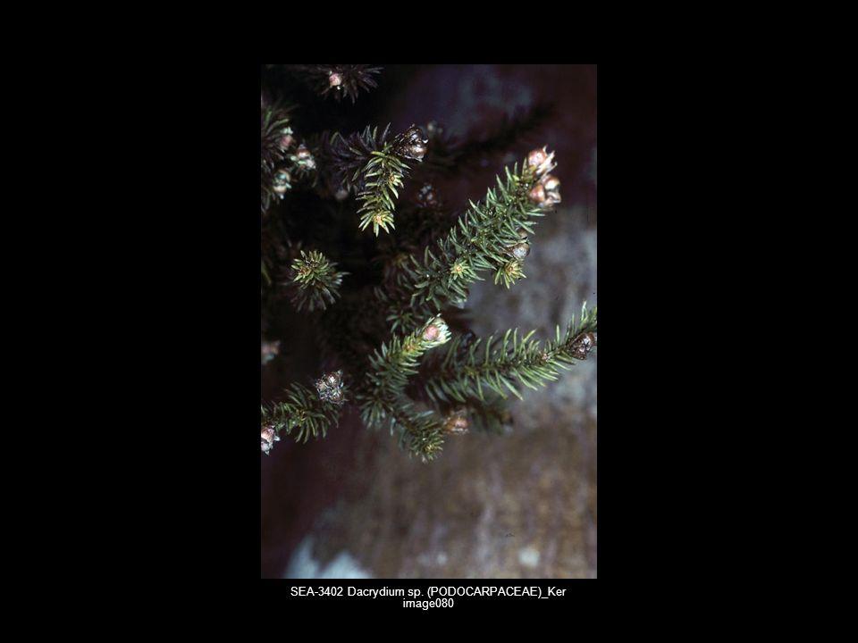 SEA-3402 Dacrydium sp. (PODOCARPACEAE)_Ker image080
