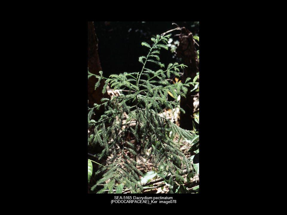SEA-5165 Dacrydium pectinatum (PODOCARPACEAE)_Ker image078