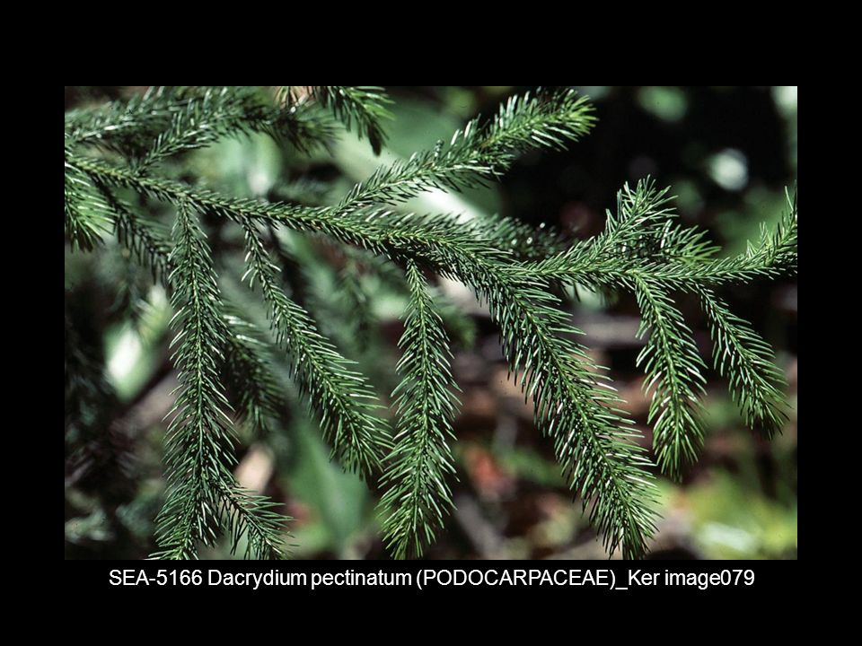 SEA-5166 Dacrydium pectinatum (PODOCARPACEAE)_Ker image079