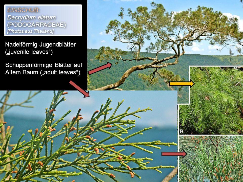 """Nadelförmig Jugendblätter (""""juvenile leaves )"""