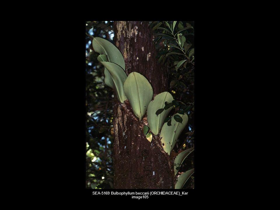 SEA-5169 Bulbophyllum beccarii (ORCHIDACEAE)_Ker image105