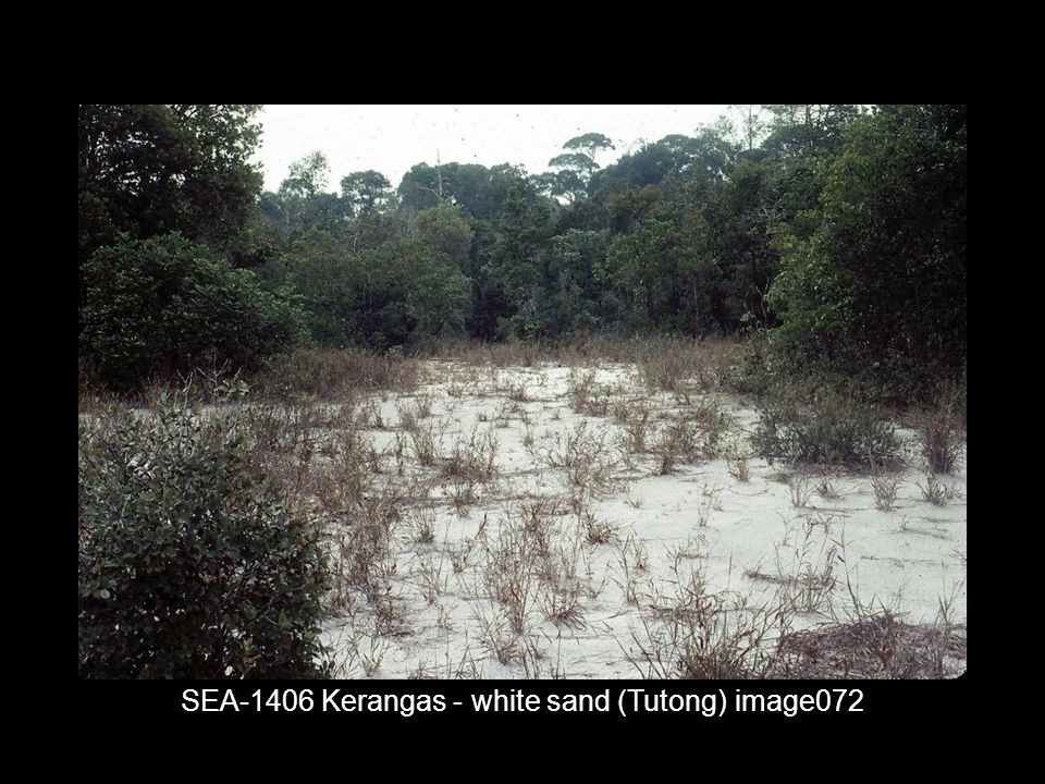 SEA-1406 Kerangas - white sand (Tutong) image072