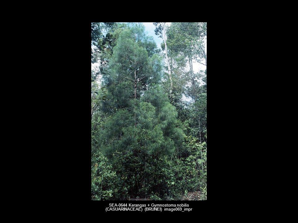 SEA-0644 Kerangas + Gymnostoma nobilis (CASUARINACEAE) (BRUNEI) image069_impr