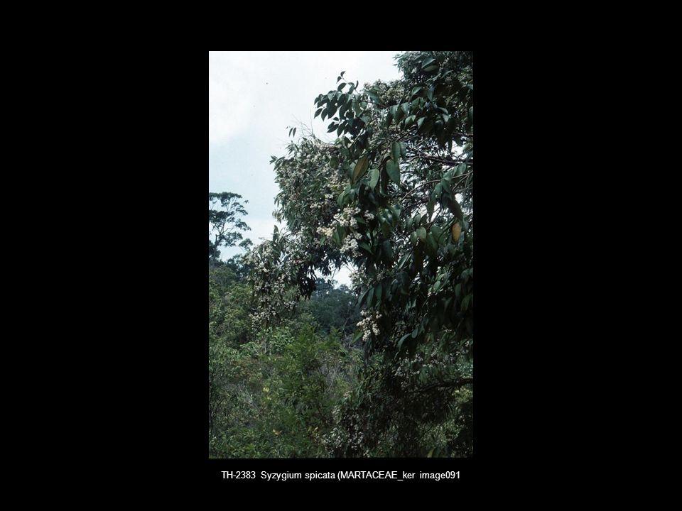 TH-2383 Syzygium spicata (MARTACEAE_ker image091