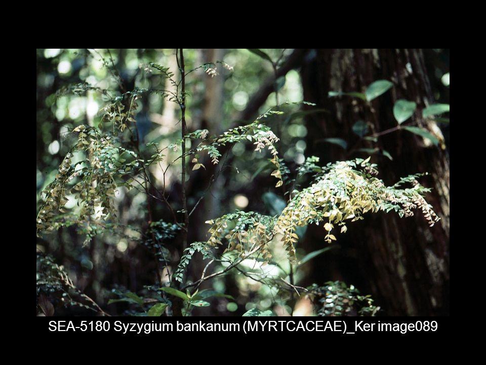 SEA-5180 Syzygium bankanum (MYRTCACEAE)_Ker image089