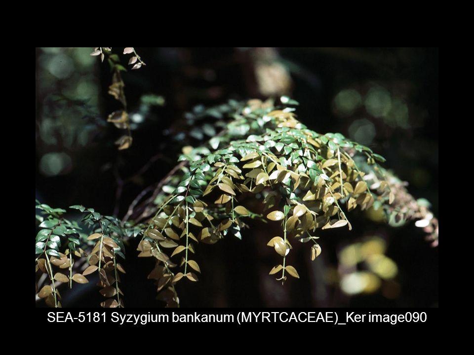 SEA-5181 Syzygium bankanum (MYRTCACEAE)_Ker image090