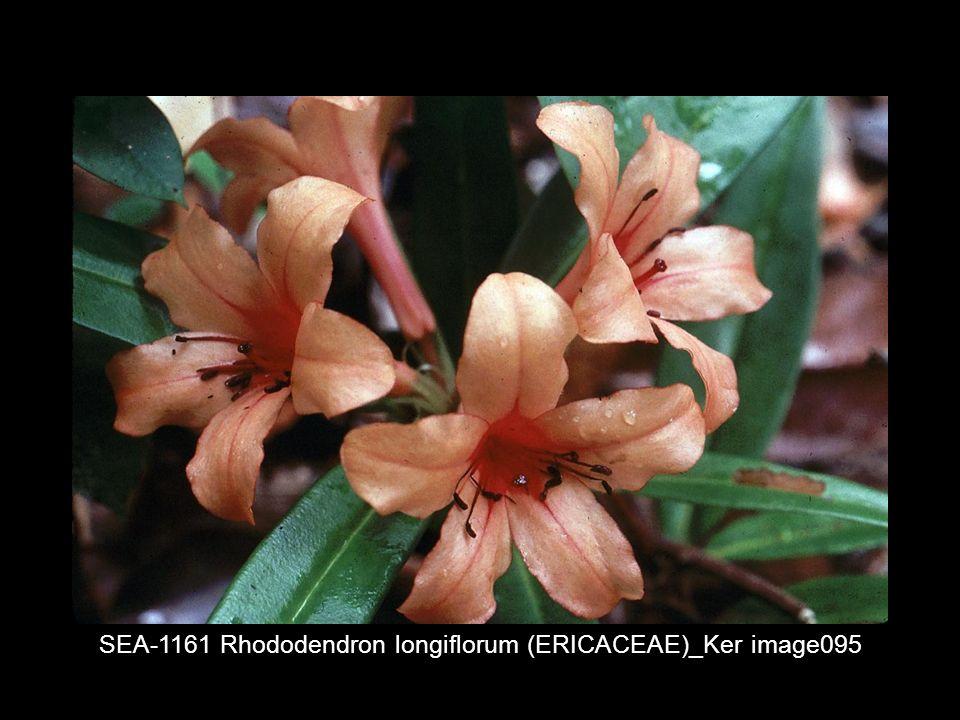SEA-1161 Rhododendron longiflorum (ERICACEAE)_Ker image095