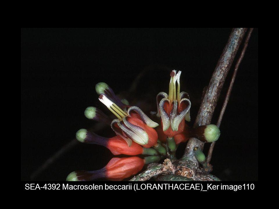SEA-4392 Macrosolen beccarii (LORANTHACEAE)_Ker image110