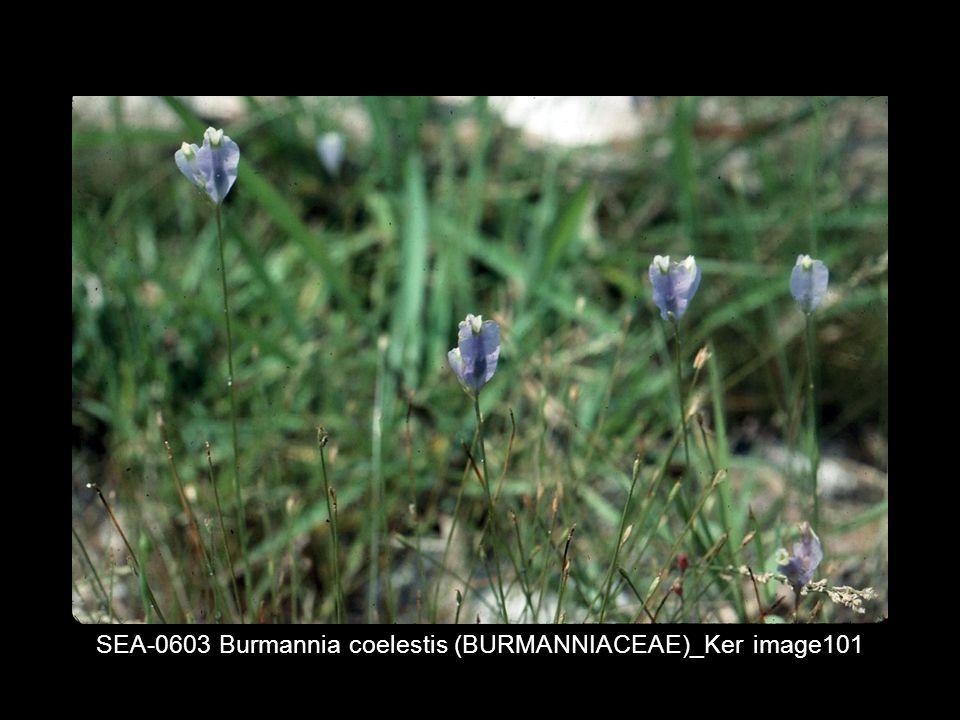 SEA-0603 Burmannia coelestis (BURMANNIACEAE)_Ker image101
