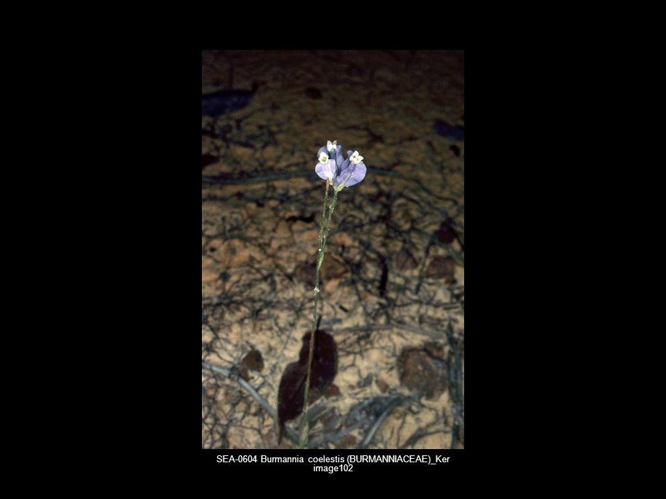 SEA-0604 Burmannia coelestis (BURMANNIACEAE)_Ker image102