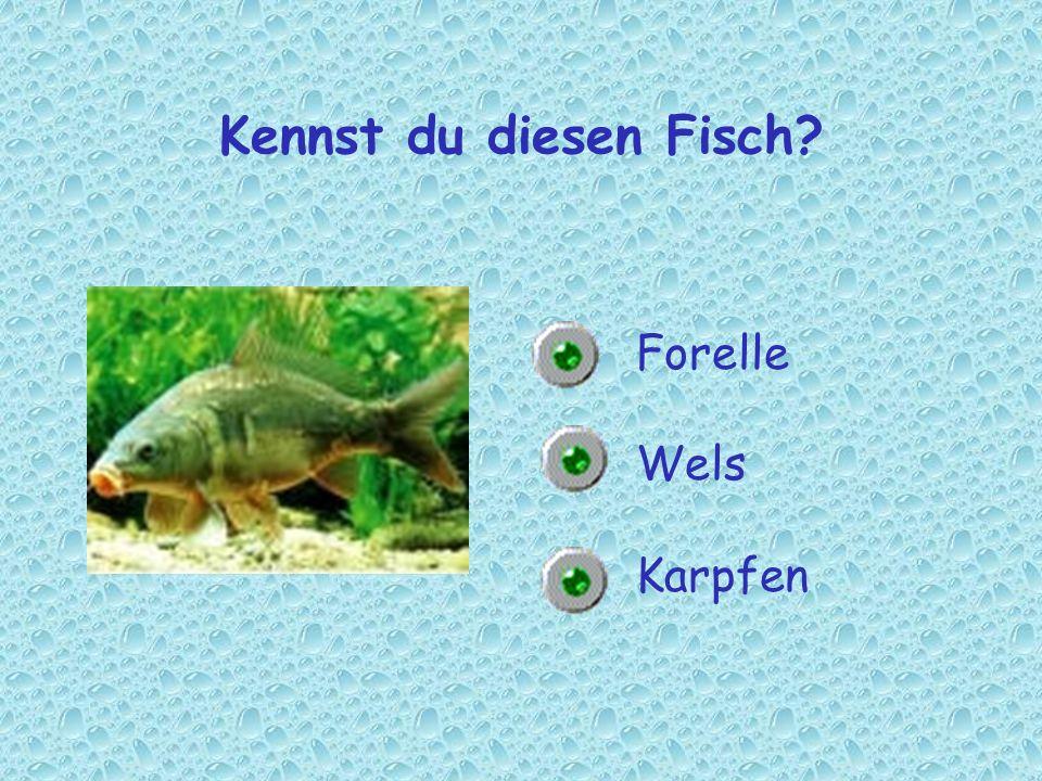 Kennst du diesen Fisch Forelle Wels Karpfen