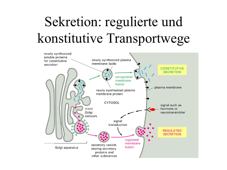 Sekretion: regulierte und konstitutive Transportwege