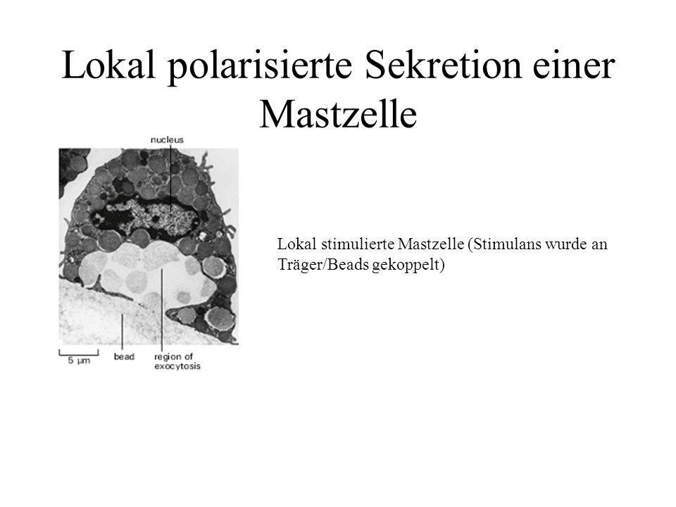Lokal polarisierte Sekretion einer Mastzelle
