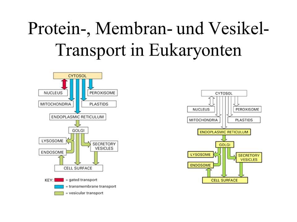 Protein-, Membran- und Vesikel- Transport in Eukaryonten