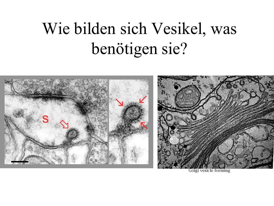 Wie bilden sich Vesikel, was benötigen sie