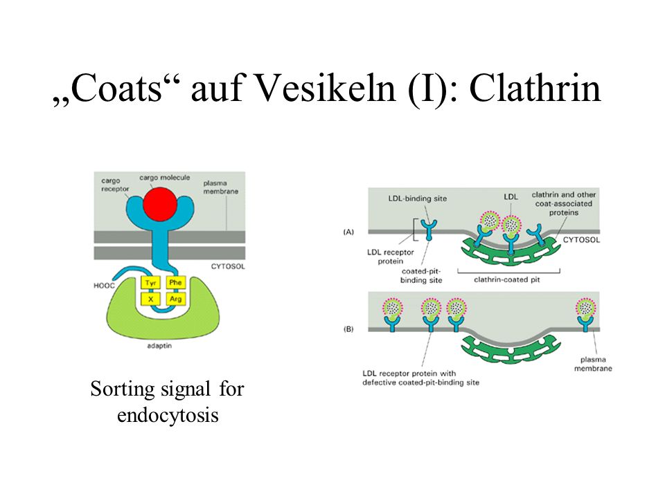 """Coats auf Vesikeln (I): Clathrin"