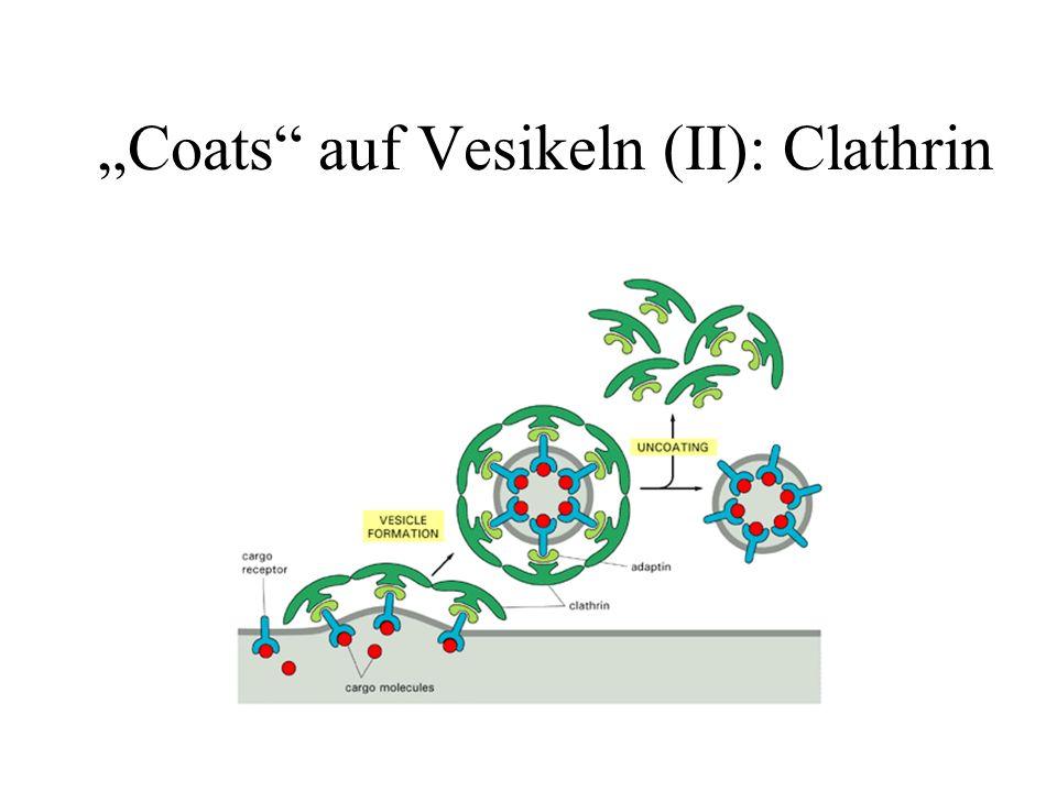 """Coats auf Vesikeln (II): Clathrin"