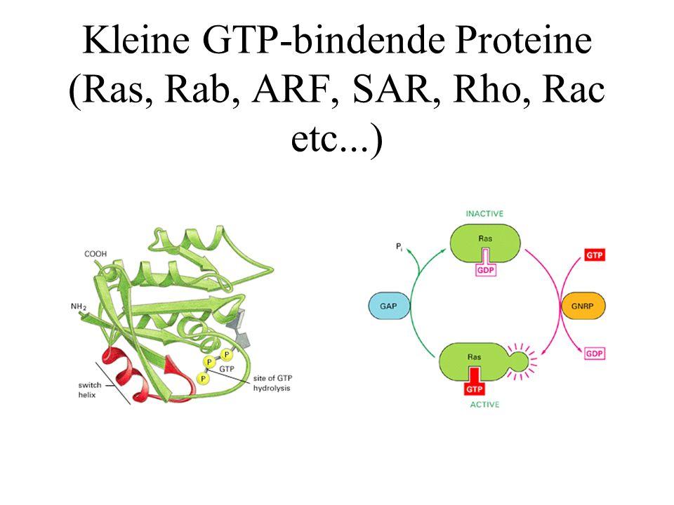 Kleine GTP-bindende Proteine (Ras, Rab, ARF, SAR, Rho, Rac etc...)