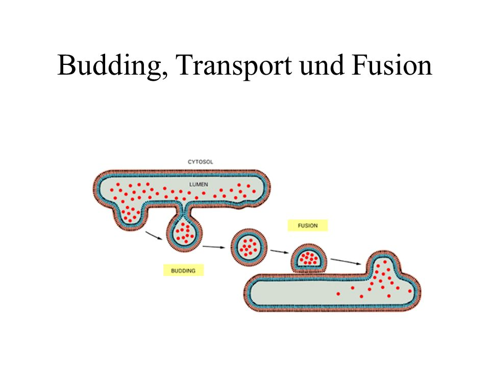 Budding, Transport und Fusion