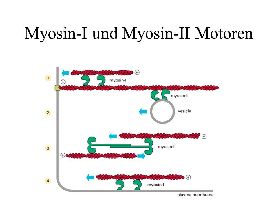 Myosin-I und Myosin-II Motoren