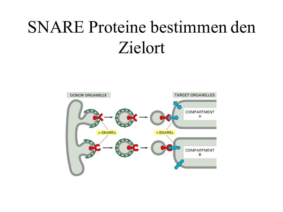 SNARE Proteine bestimmen den Zielort
