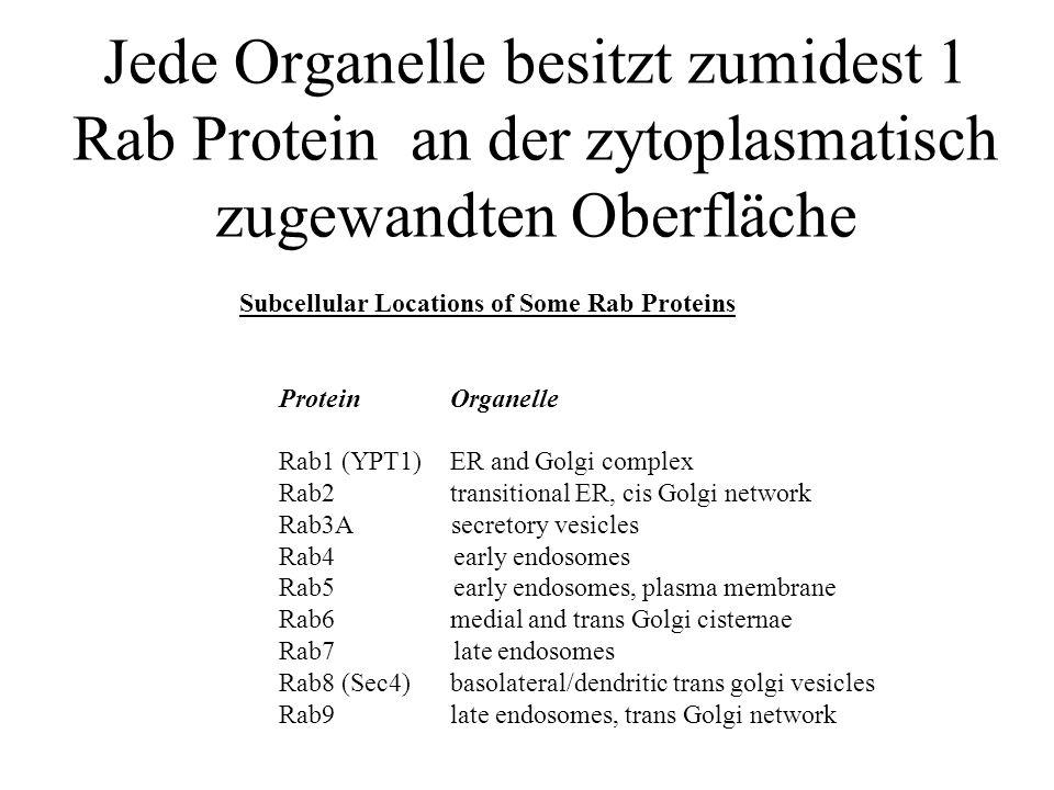 Jede Organelle besitzt zumidest 1 Rab Protein an der zytoplasmatisch zugewandten Oberfläche