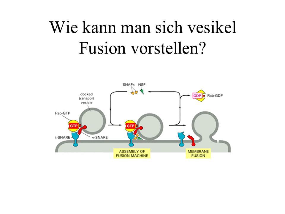 Wie kann man sich vesikel Fusion vorstellen