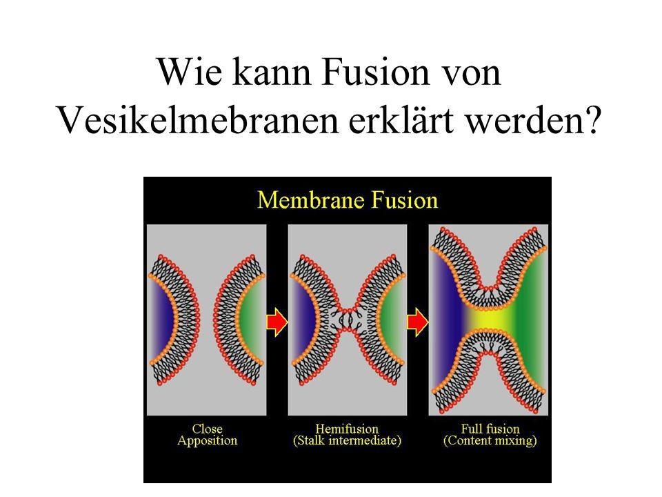Wie kann Fusion von Vesikelmebranen erklärt werden