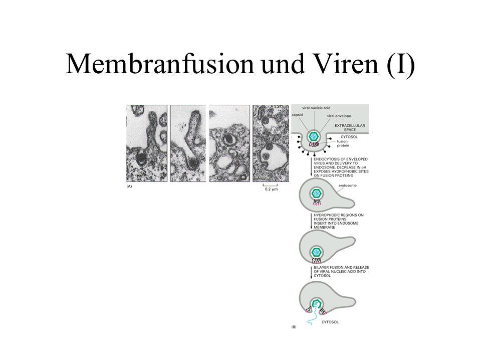 Membranfusion und Viren (I)