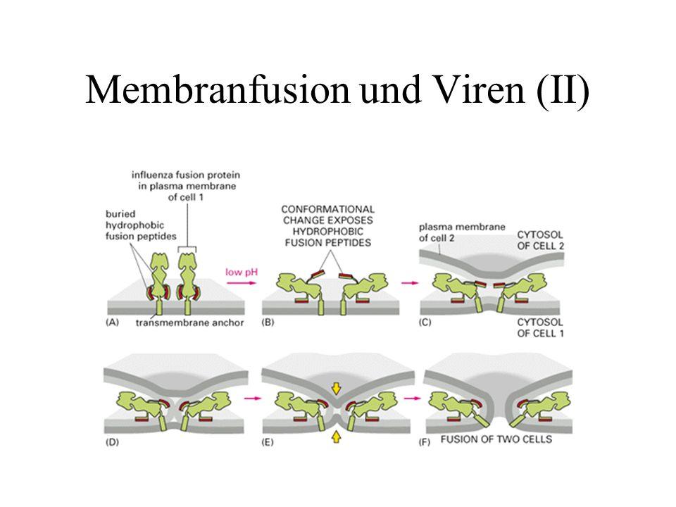 Membranfusion und Viren (II)