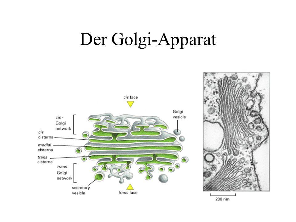 Der Golgi-Apparat