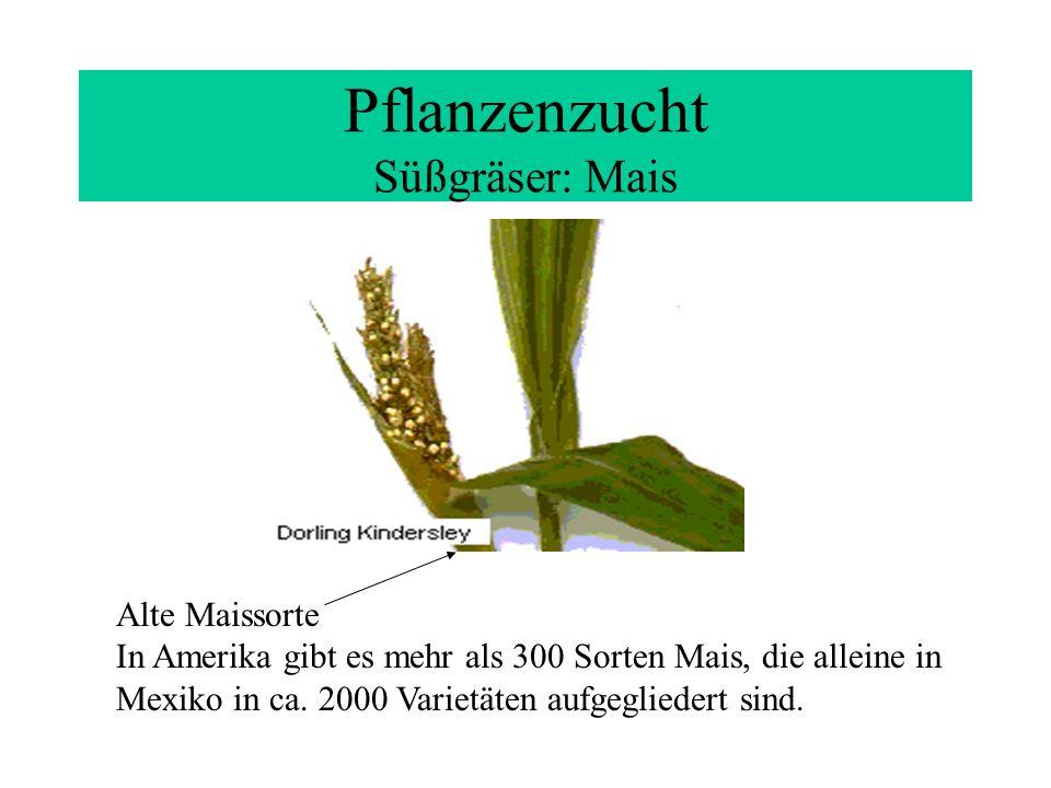 Pflanzenzucht Süßgräser: Mais