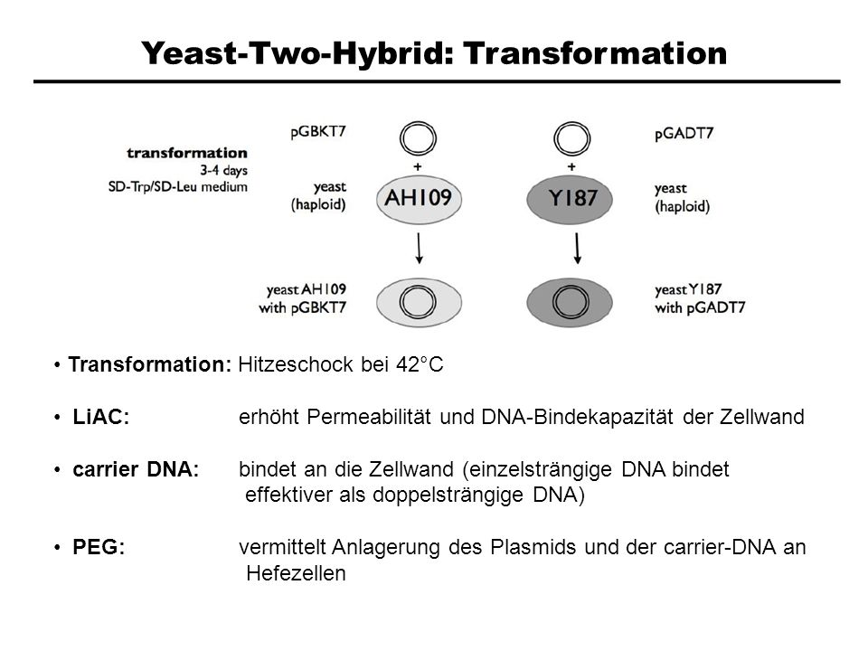 Yeast-Two-Hybrid: Transformation