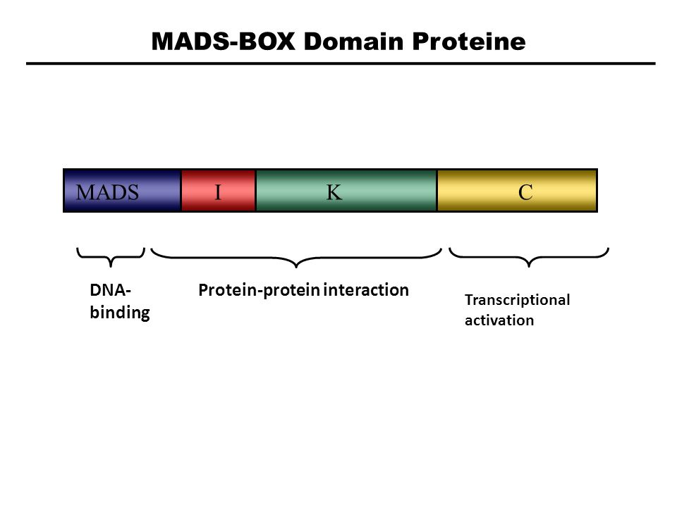MADS-BOX Domain Proteine