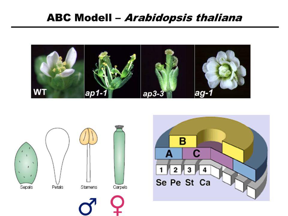 ABC Modell – Arabidopsis thaliana
