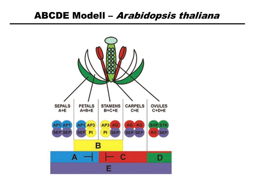 ABCDE Modell – Arabidopsis thaliana