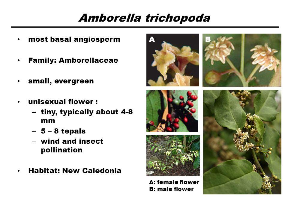 Amborella trichopoda most basal angiosperm Family: Amborellaceae