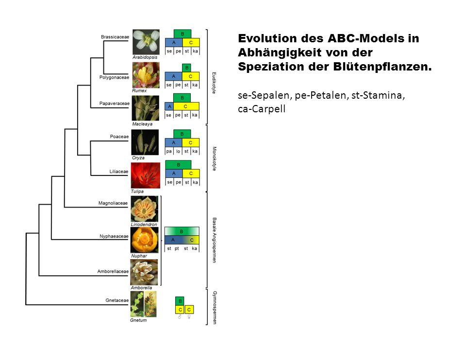 Evolution des ABC-Models in Abhängigkeit von der Speziation der Blütenpflanzen.