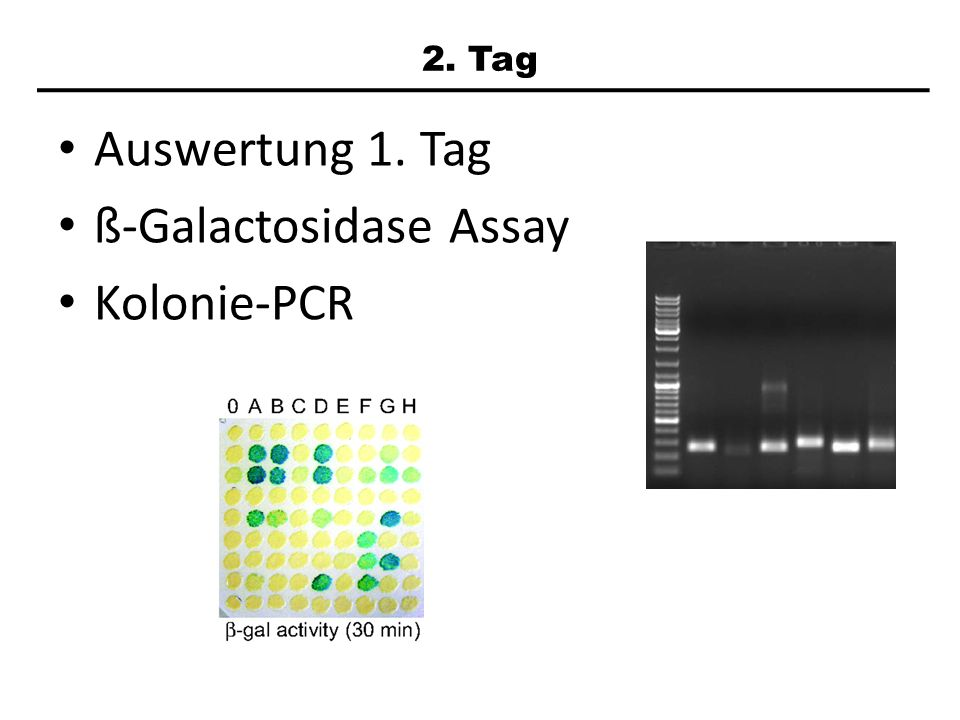 ß-Galactosidase Assay Kolonie-PCR