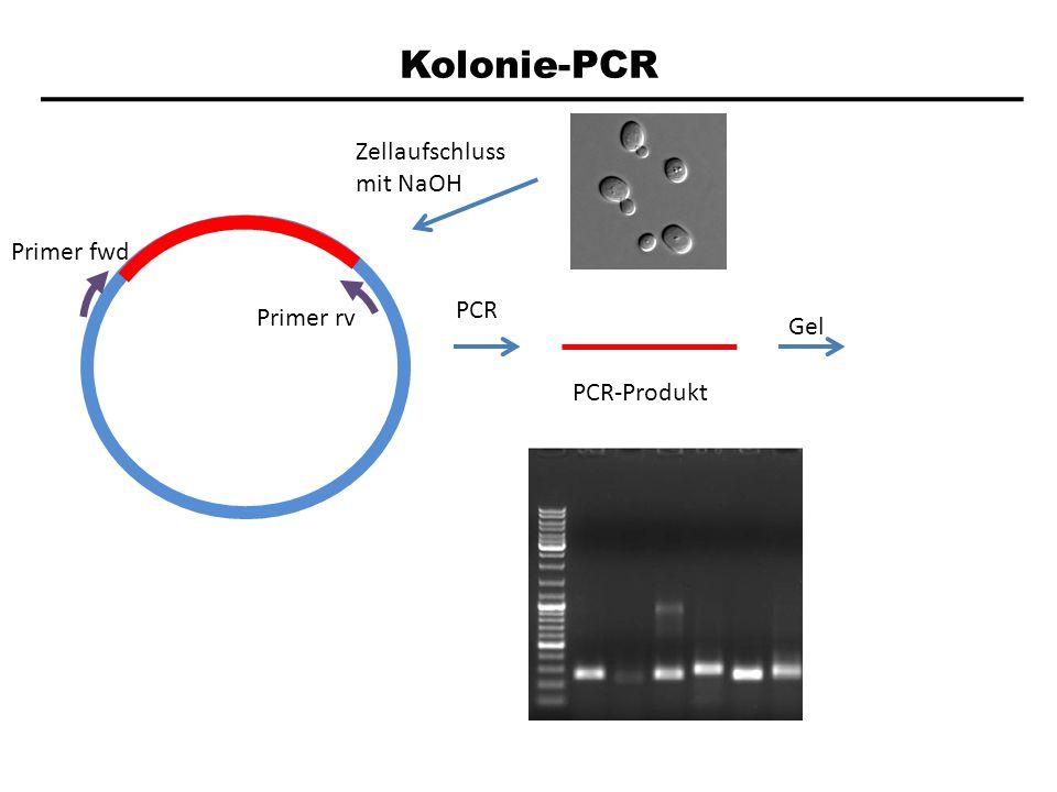 Kolonie-PCR Zellaufschluss mit NaOH Primer fwd PCR Primer rv Gel