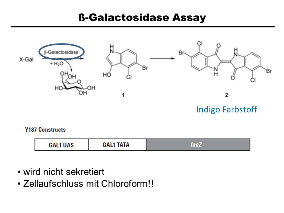 ß-Galactosidase Assay