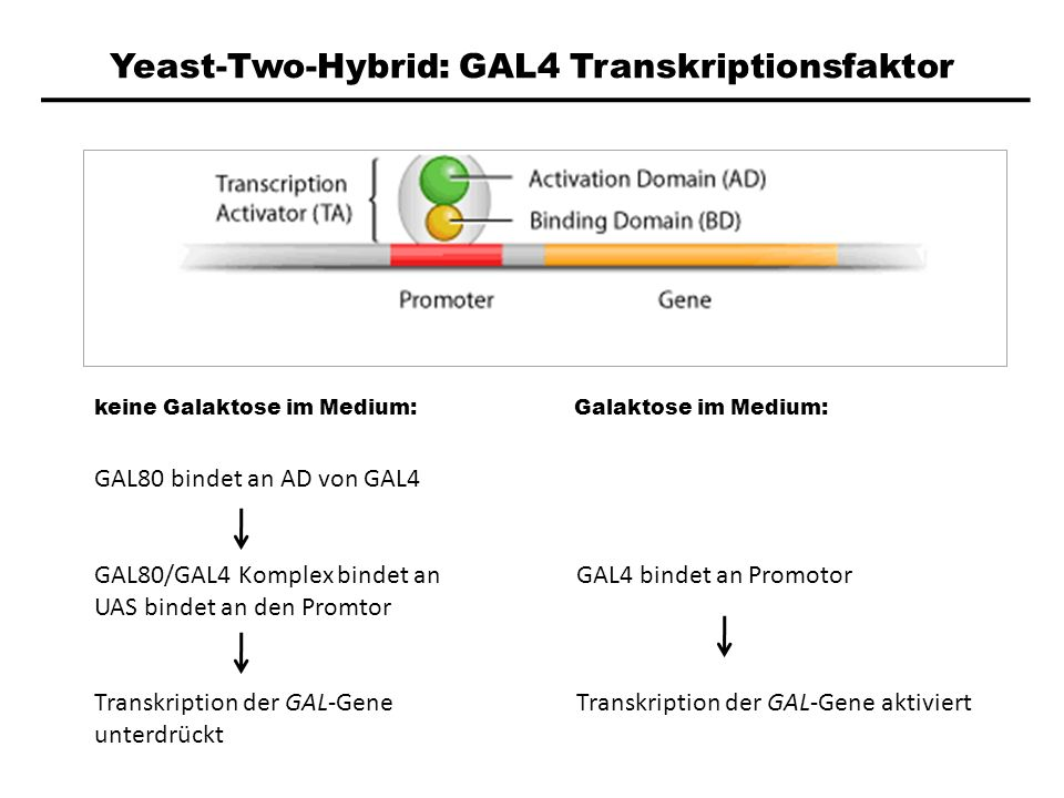 Yeast-Two-Hybrid: GAL4 Transkriptionsfaktor