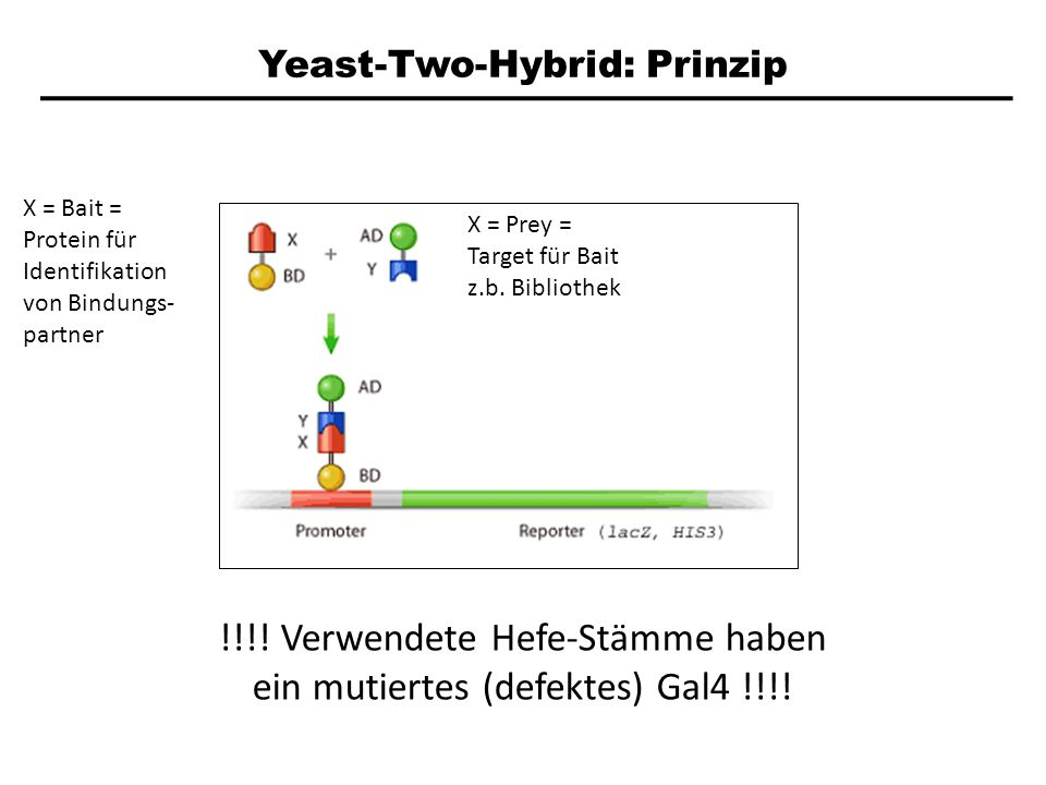Yeast-Two-Hybrid: Prinzip