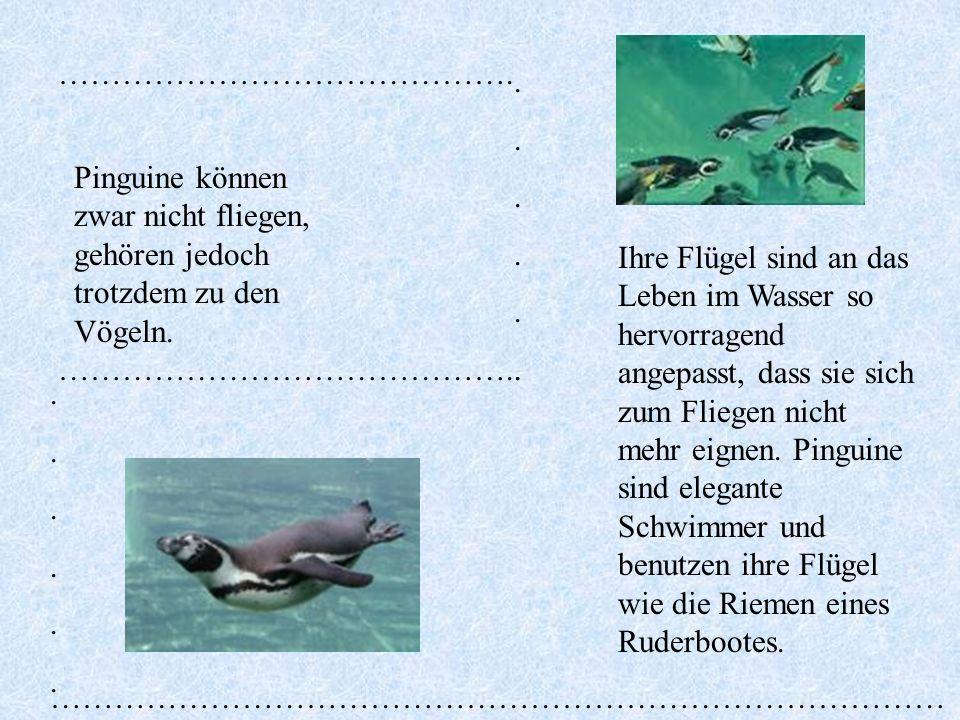 …………………………………….. Pinguine können zwar nicht fliegen, gehören jedoch trotzdem zu den Vögeln.