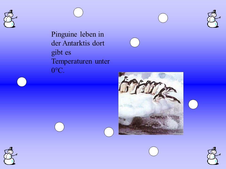 Pinguine leben in der Antarktis dort gibt es Temperaturen unter 0°C.