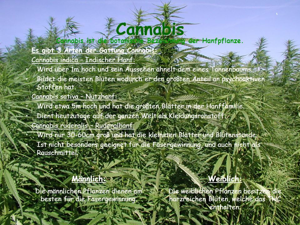 Cannabis ist die botanische Bezeichnung der Hanfpflanze.