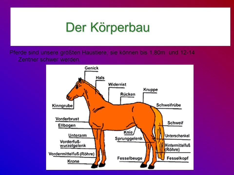 Der Körperbau Pferde sind unsere größten Haustiere, sie können bis 1,80m und 12-14 Zentner schwer werden.