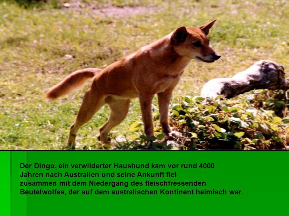 Der Dingo, ein verwilderter Haushund kam vor rund 4000