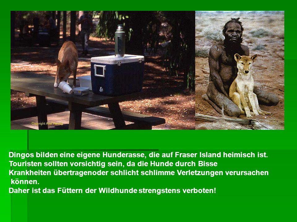 Dingos bilden eine eigene Hunderasse, die auf Fraser Island heimisch ist. Touristen sollten vorsichtig sein, da die Hunde durch Bisse